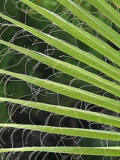 hojas de palma james ventilador washington