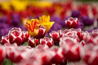 Planta flores tulipanes jardín de primavera
