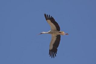 ala volante cigüeña oriental pájaro