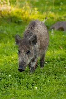 bosque cerdo animal blanco cerdo ojo pelo piel
