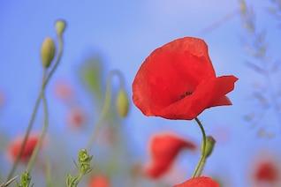 Amapola hierba de verano flor materia prado