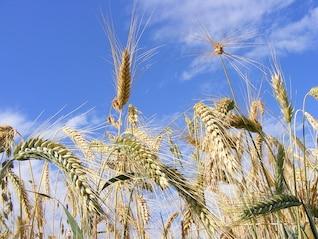 Agricultura oído cerca pan cereales de grano