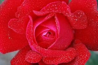 rosa, planta, naturaleza gotas flor lila