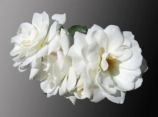 Flores rosas nobles luto