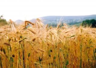 campo de maíz cerca de knayton