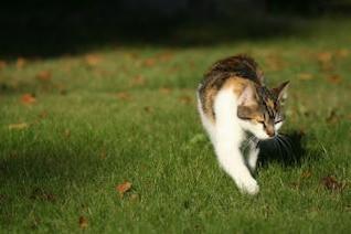 gato caminando sobre la hierba