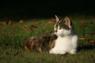 gato acostado en el pasto