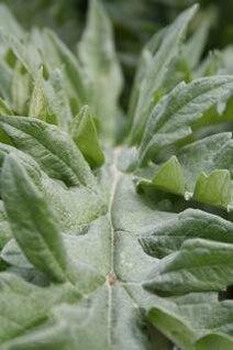 planta verde, primer plano