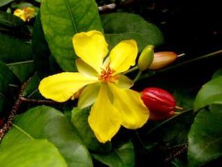 flor amarilla, silvestres