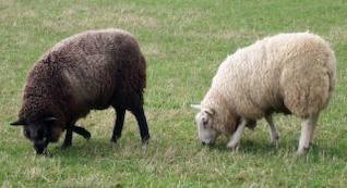 dos ovejas altas bonny