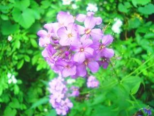 flores silvestres violetas
