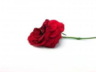 rosa roja, la hoja de