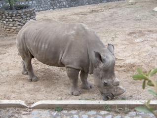 rinocerontes, grandes