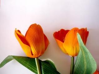 tulipanes de color naranja, yellowflowers