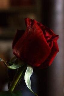 rosa roja, flores, roja