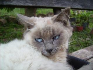 gato blanco, la cabeza