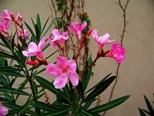 flores de color rosa, hojas de