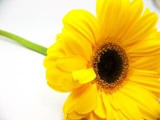girasol amarillo