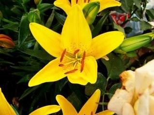 flor amarilla, aislados