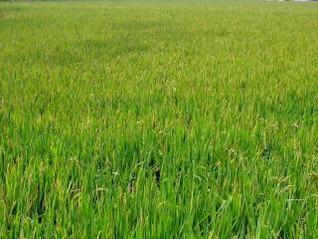 gran campo de arroz chino