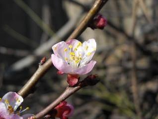 los cerezos en flor, creciendo