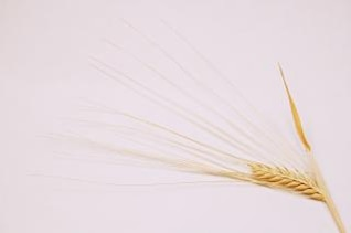 grano, la semilla