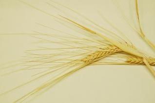 de grano, se seca
