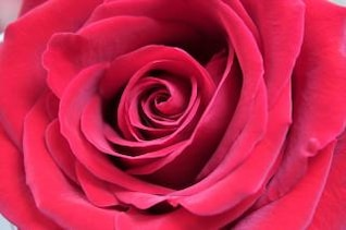 rosa roja close-up