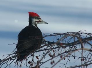 pileated carpintero