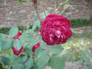 rosa roja, redandwhiteflowe