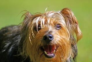 yorkshire terrier, al aire libre