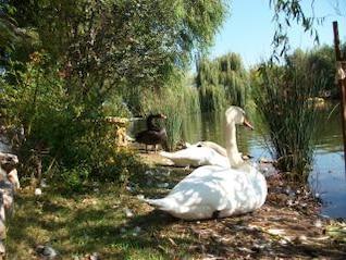 cisne, animal