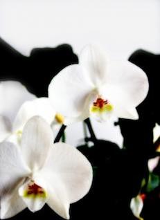 orquídeas blancas, flor