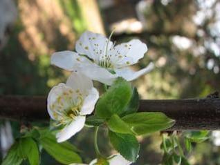 ciruela flor de la flor, la flor