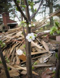 flor de la flor del ciruelo, con2011