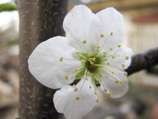 flor de la flor de ciruela, blanco