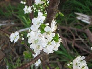 flor de la flor de ciruela, ciruela