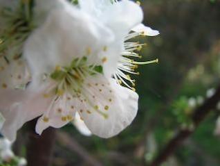 ciruela flor de la flor, flor