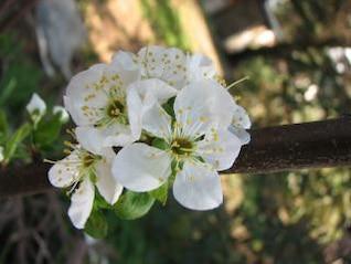 flor de la flor del ciruelo