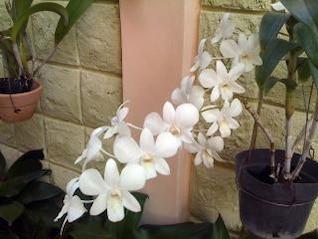 Indonesia orquídeas,