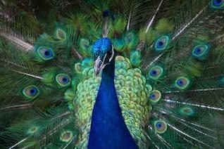 colorido del pavo real