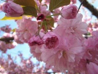 flores de cerezo del primer plano