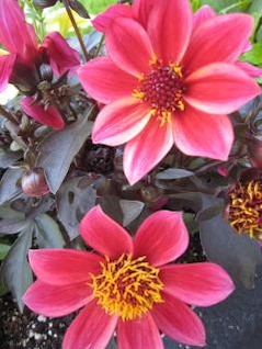 rosa flores la flora de plantas