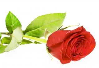 rosa roja hojas
