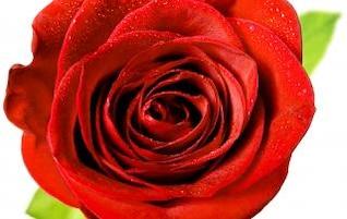 Rosa roja, roja