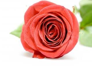 Rosa roja, planta