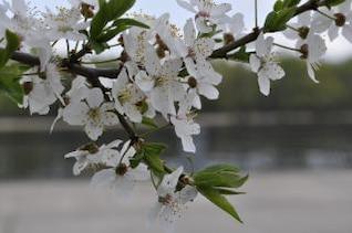 blancas flores de cerezo
