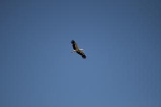 cigüeña azul