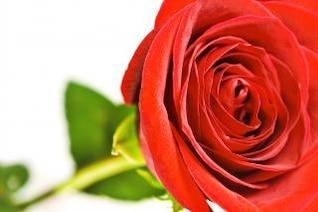 rosa de primavera