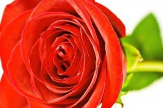 Pétalos de Rosa de regalo